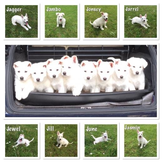 collage pups 8 weken