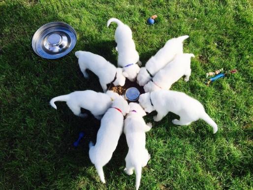 pups 5 weken eten